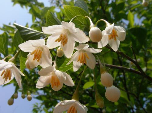 エゴノキ 春 白い花