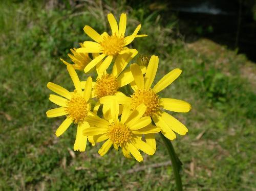 オカオグルマ 春 黄