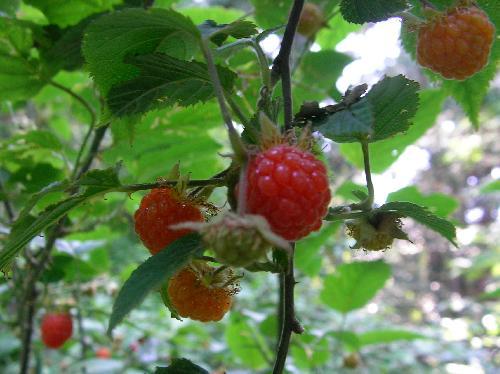 ビロードイチゴ 初夏にオレンジ色から朱色に熟す