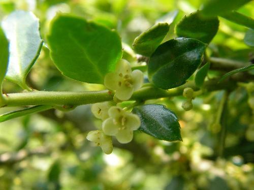 イヌツゲ 春 白黄緑
