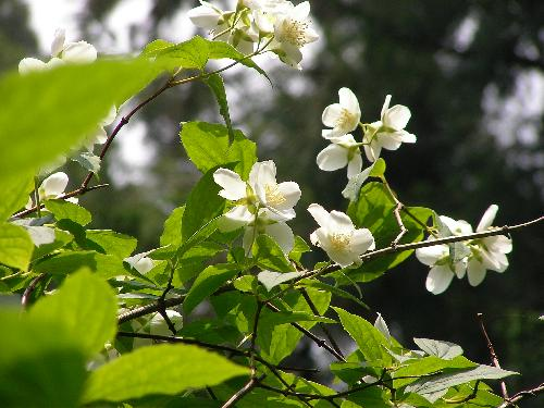 バイカウツギ 春 白い4弁花