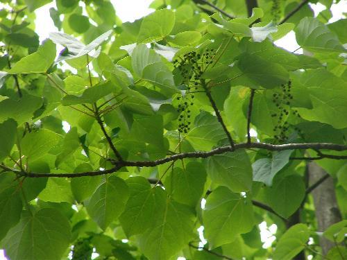イイギリ 大きなハート型の葉