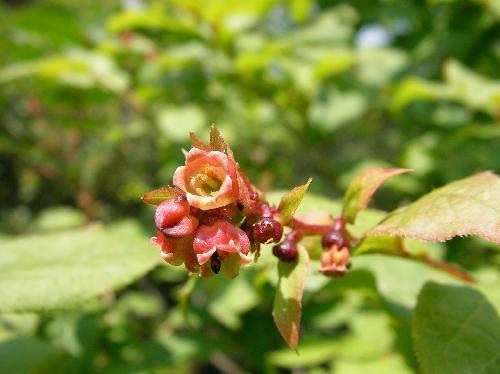 ナツハゼ 晩春~初夏 目立たない赤みを帯びた白い花