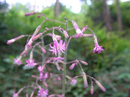 ムラサキニガナ 夏 小さな紫色の花