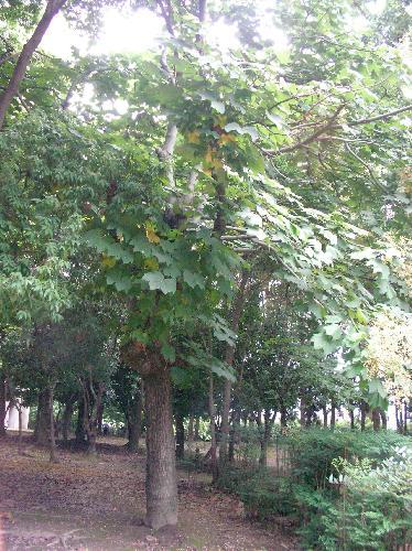 アオギリの画像 p1_16