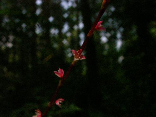 ミズヒキ 夏~秋 極小さな赤白の花