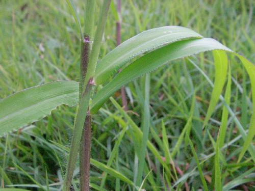 メヒシバ 細長い 葉鞘には毛が生える