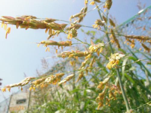 セイバンモロコシ 秋 赤みを帯びた穂 黄色い葯が目立つ