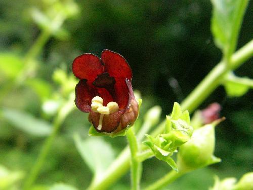 オオヒナノウスツボ 晩夏~秋 茶色い花