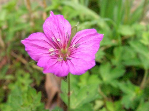ゲンノショウコ 秋 赤紫