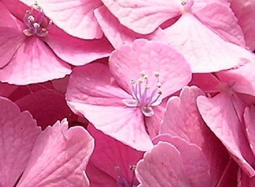 アジサイ 初夏 赤紫、ピンク