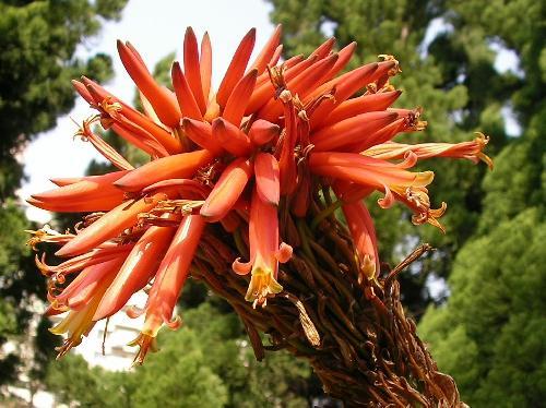 キダチアロエ 冬 赤橙色の花