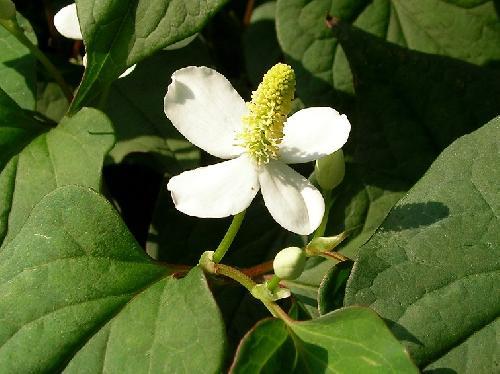 ドクダミ 春に白い花