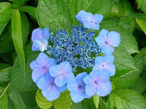 ガクアジサイ 初夏 普通花を取り囲む青い装飾花