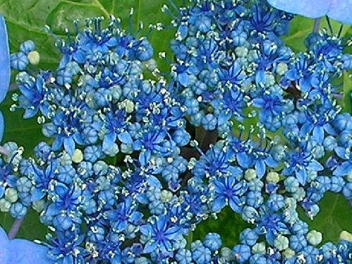 ガクアジサイ 極小さい普通花