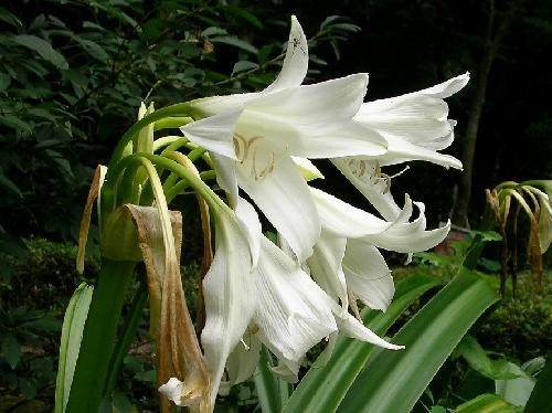 インドハマユウ 初夏 白い花
