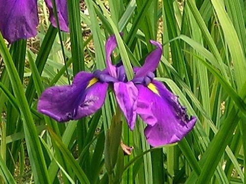 ハナショウブ 初夏 紫 花の真ん中が黄色い