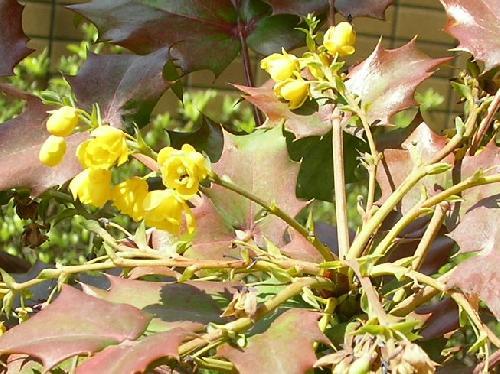ヒイラギナンテン 冬黄色い花