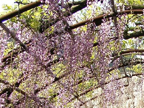 ノダフジ 晩春 紫