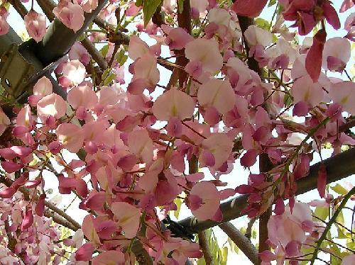 ノダフジ 晩春 ピンク