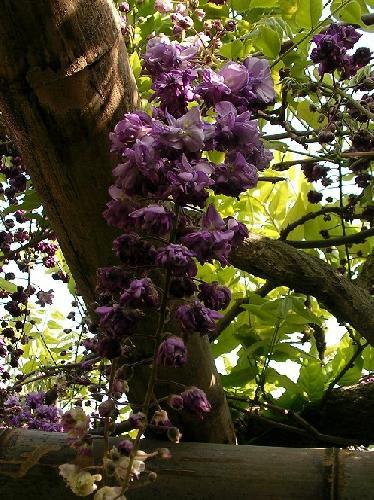 ノダフジ 晩春 紫八重咲き