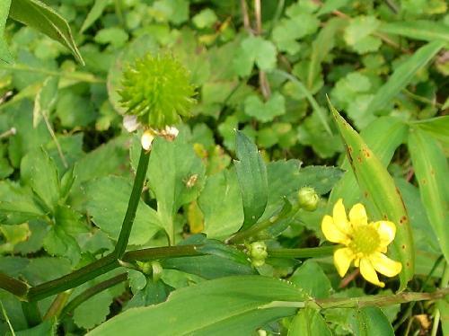 キツネノボタン 夏 数十個の種子が集まったトゲトゲの球状の実 茶褐色に熟す