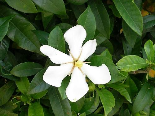 クチナシ 初夏 白い花