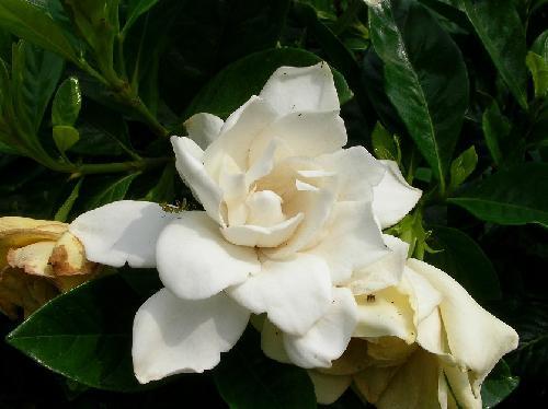 クチナシ 初夏 白い花 八重咲き