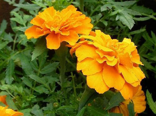 コウオウソウ 春夏秋 黄色、オレンジ