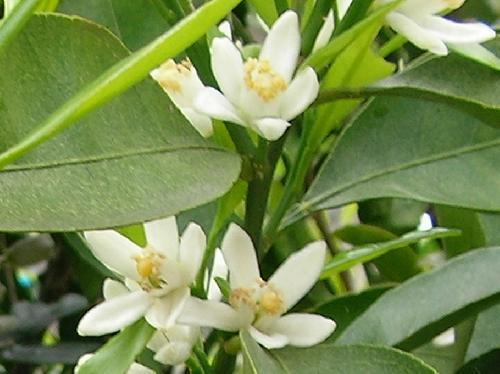 ウンシュウミカン 晩春 白い5弁花