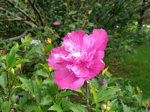 ムクゲ 初夏~秋 ピンク八重咲き