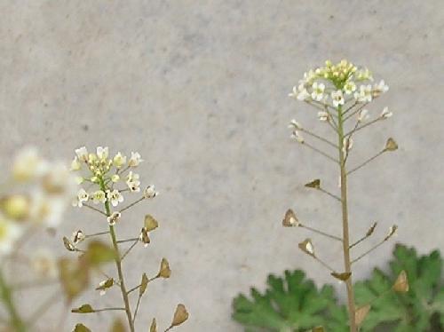 ナズナ 春 三味線のバチのような三角形の実 茶褐色に熟す
