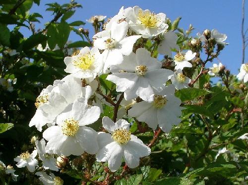 ノイバラ 春 白い5弁花