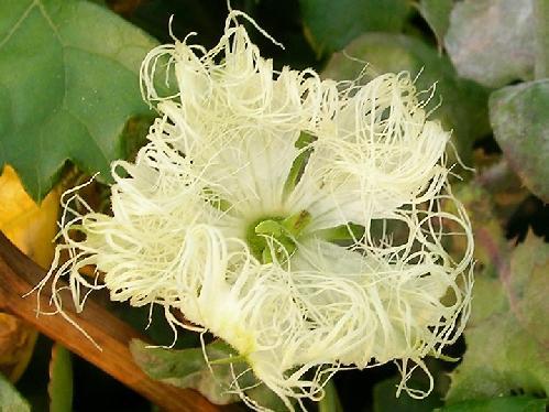 キカラスウリ 夏 先端が綿状に細くさけた白い花