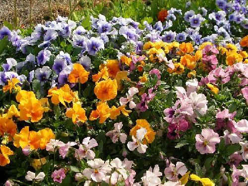 パンジー 秋冬春 紫、黄、ピンク