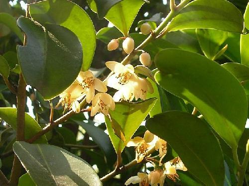 サカキ 初夏 白い花