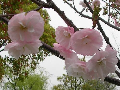 春 ピンク八重咲き