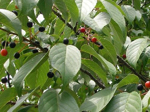 ヤマザクラ 初夏 球形の実が赤黒く熟す