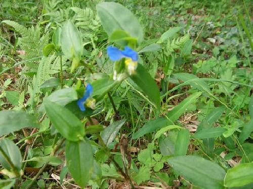 ツユクサ 夏 青い花