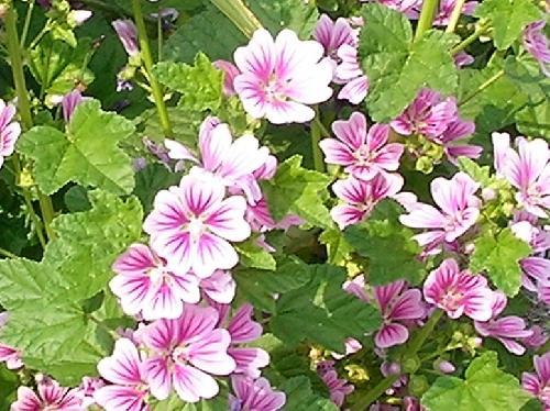 ゼニアオイ 春~初夏 ピンク赤紫