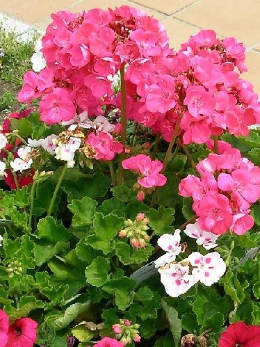 テンジクアオイ 春夏秋 花は赤、白、ピンク、オレンジなど