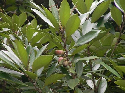 マテバシイ 秋 茶褐色の楕円形の実