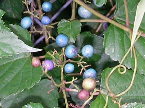 ノブドウ 秋 トルコ石のような水色の球形の実