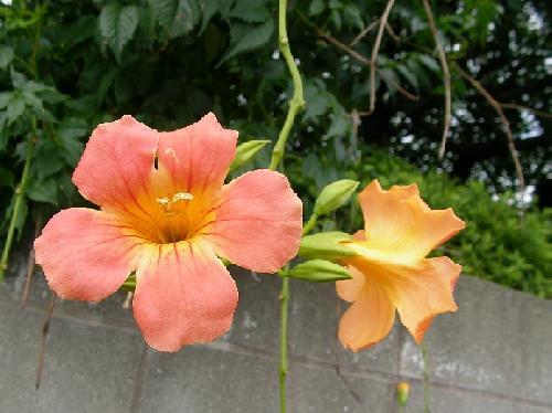 ノウゼンカズラ 夏 橙色の花