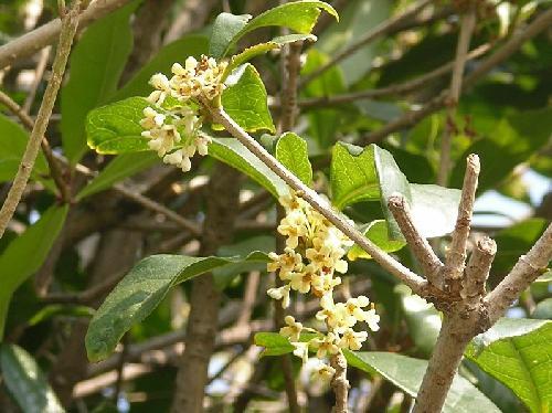 ギンモクセイ 秋 小さな白い花
