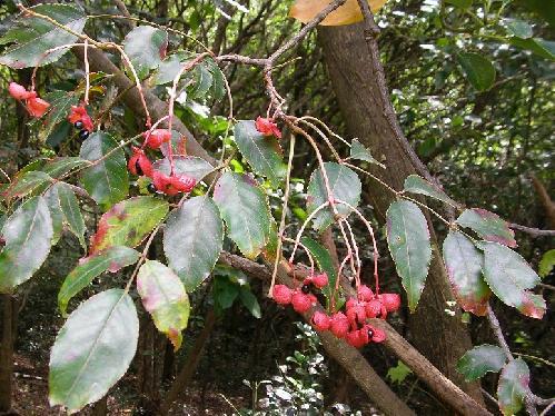 ゴンズイ 秋 薄ピンクから赤 熟すと割れて中から黒い種子が出てくる