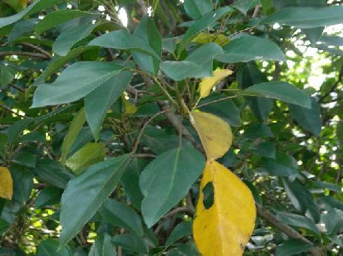 カクレミノ 若木の葉は3裂 成木は楕円形 秋 古い葉は黄色に紅葉