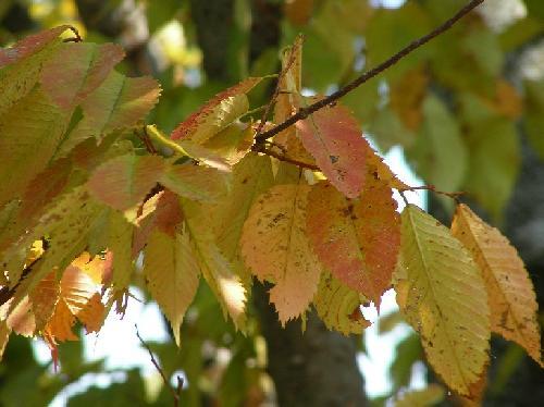 ケヤキ 楕円形で鋸歯 互生 秋 黄赤の紅葉