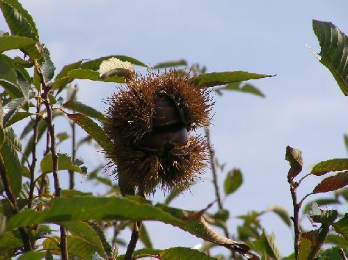クリ 秋 イガに入った実は茶褐色に熟す