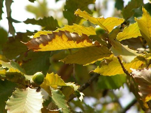 コナラ 秋 茶褐色の小さな寸詰まりの丸いドングリ